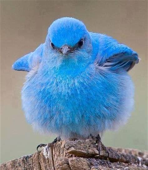 mountain bluebird pictures photos and images for
