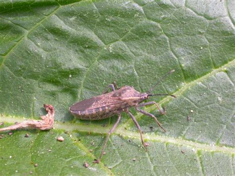 house and garden pest squash bugs