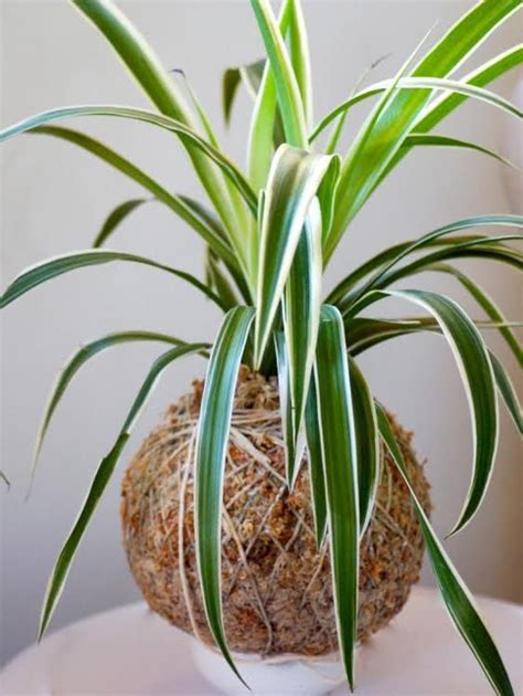 spider plant restaurant spider plants and plants on pinterest