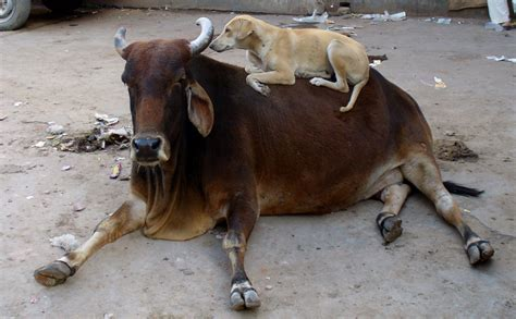 cow puppy file cow jpg wikimedia commons