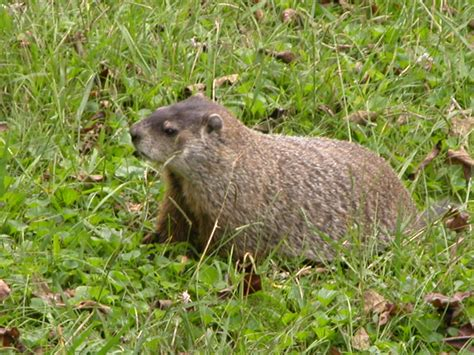 backyard rodents this large groundhog a k a woodchuck marmota monax