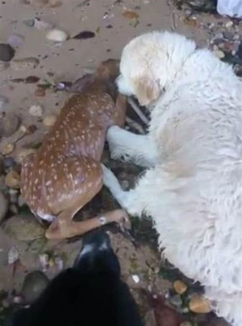 golden retriever saves fawn new york golden retriever rescues drowning fawn daily mail