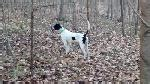pudelpointer puppies for sale 2017 pointer