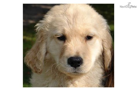 golden retriever puppies dakota meet dakota a golden retriever puppy for sale for 800 all american purebred akc