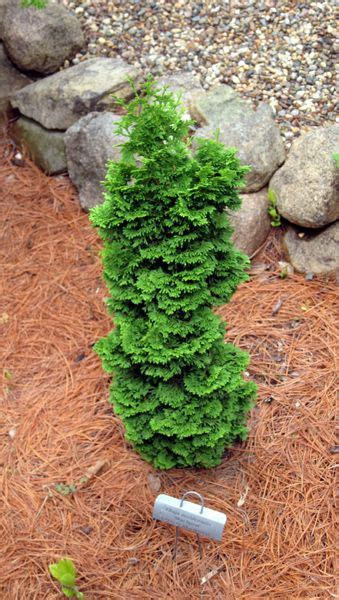 dwarf shrubs evergreen 43 best images about evergreens for containers as a topiary on gardens