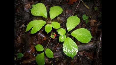 Sho Natur Gingseng how to identify ginseng with berries in the woods
