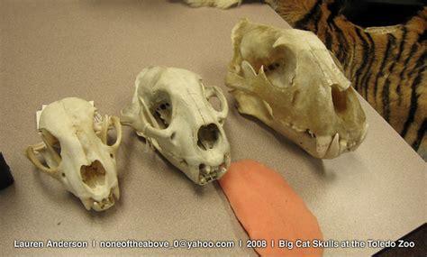 big cat skulls  skulls   class type