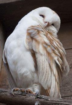 Tarikan 8637 96 Ab spirit animal gorgeous white owl spirit animals beautiful spirit animal and snow