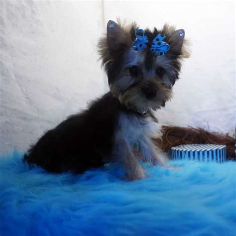 teacup parti yorkie puppies for sale teacup yorkie boy puppy memes