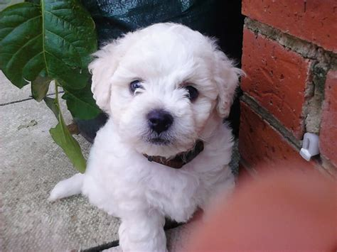 bichon puppies for sale akc bichon frise puppies for sale in calgary alberta for sale breeds picture