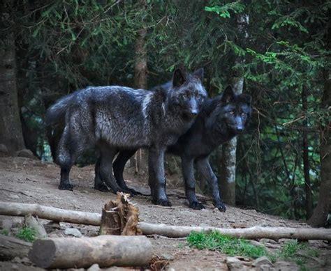 Lop Noir loup noir picture of parc alpha martin vesubie tripadvisor