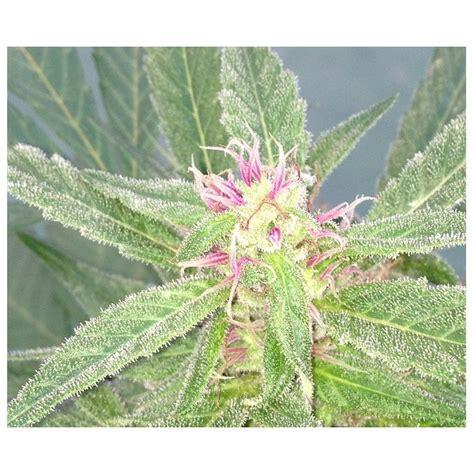lade cannabis u pink kush dr underground seedfinder