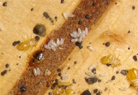 can you see bed bugs bed bug signs common signs of bed bugs