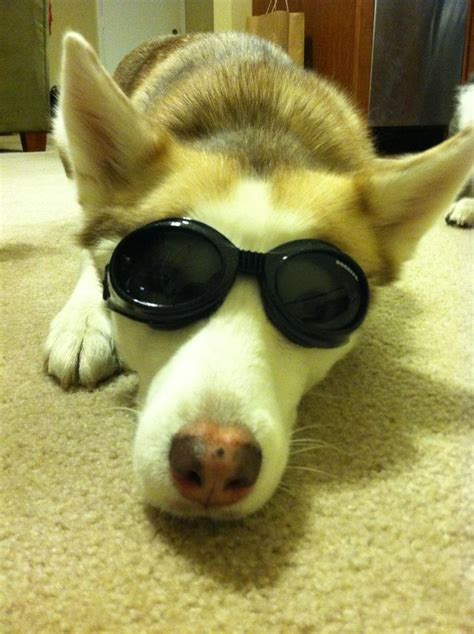 doggles for pugs 39 best ideas about doggles on chihuahuas electric blue and safety