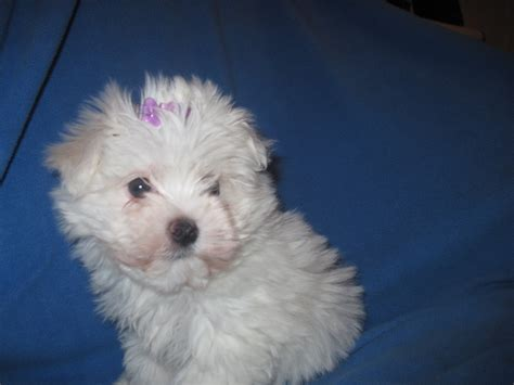 maltipoo puppies for adoption deb s adpost