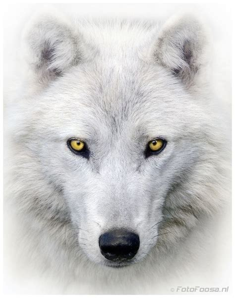 white wolf tattoo best 25 white wolf ideas on yin yang