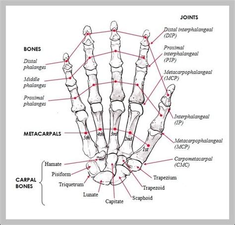 anatomy diagram bones chart graph diagram