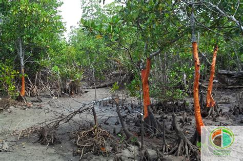 komunitas mangrove bengkulu rusaknya hutan mangrove