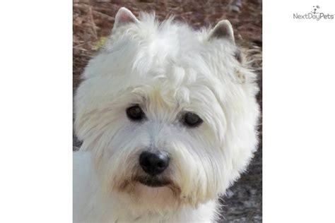 rescue california west highland terrier rescue california myideasbedroom