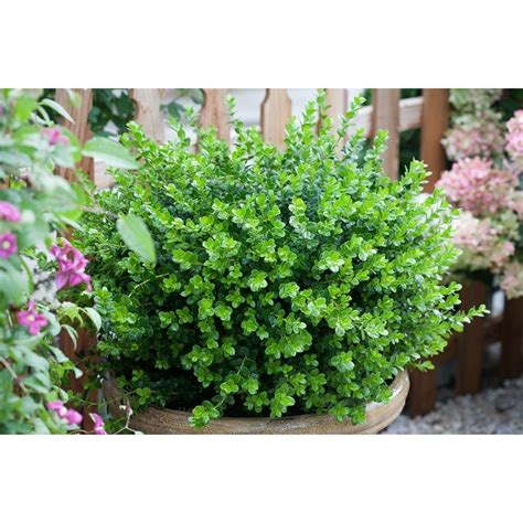 proven winners sprinter boxwood buxus live evergreen