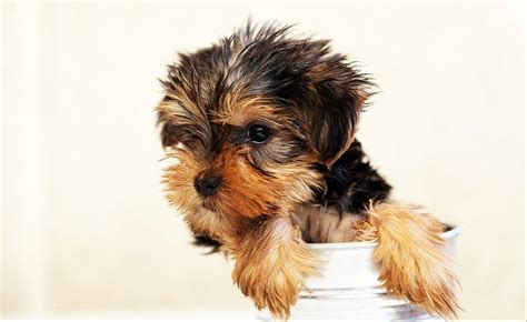 raza perros peque os pelo corto razas de perros peque 241 os blse