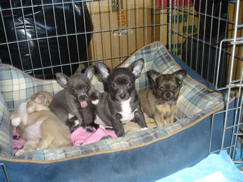 chihuahua puppies for sale in chihuahua puppies for sale bideford pets4homes