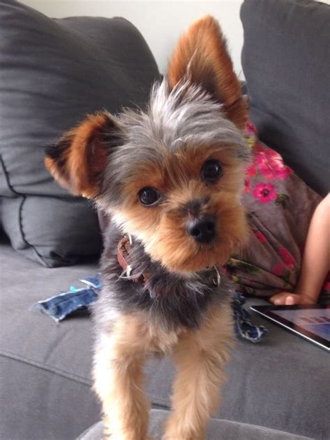 haircuts for yorkie dogs females yorkie charlie quot what you re doing quot all about yorkies
