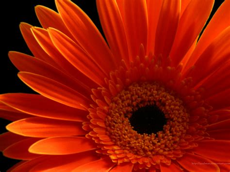gerber daisies beautiful wallpapers gerbera and daisy flower wallpaper