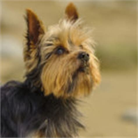 yorkie span expectancy for a terrier 1001doggy