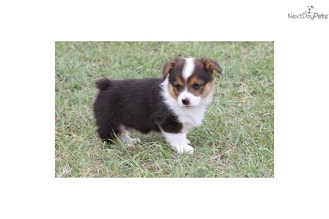 miniature corgi puppies safely find local puppy breeders find puppy prehensive pets world