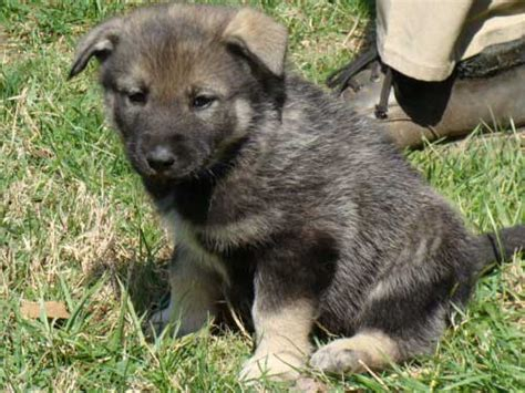 elkhound puppies german shepherd and elkhound mix breeds picture