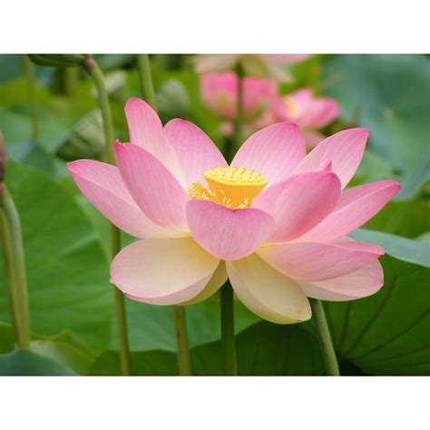 Lotus Sacred Buy Sacred Lotus Seeds Rarexoticseeds