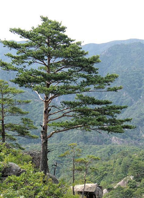 The Pine Tree pine
