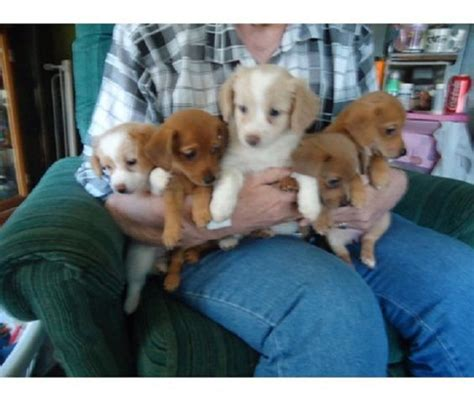 dachshund pomeranian mix puppies for sale dachshund pomeranian mix puppies for sale zoe fans wish list