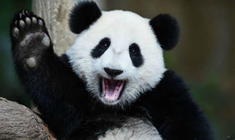 libro oso panda oso panda 161 buenas noticias los osos panda ya no est 225 n en extinci 243 n