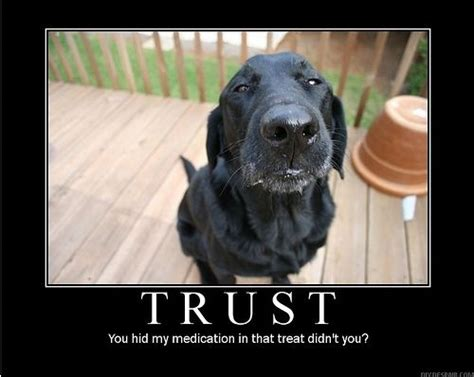 Black Lab Meme - 39 best all about labs images on pinterest pets doggies