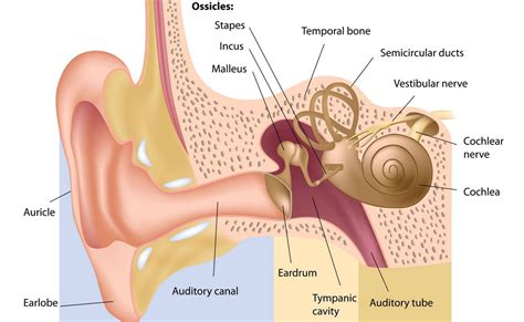 picture of the inner ear stapedectomy fort worth ent sinus