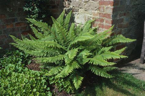 fern growing tips gardening