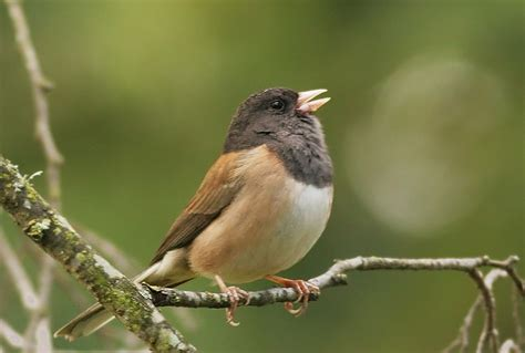 northwest nature notes singing a different tune