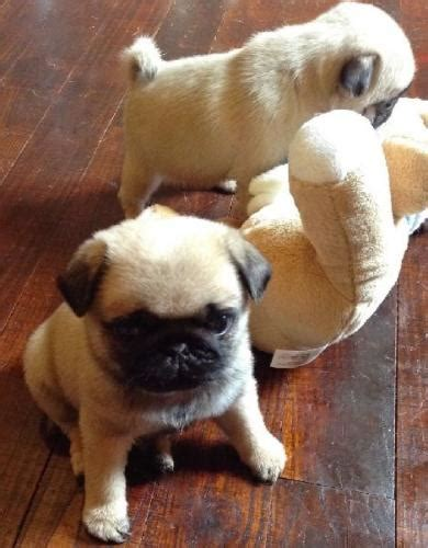 teacup pugs for sale in utah boston for sale puppies for sale