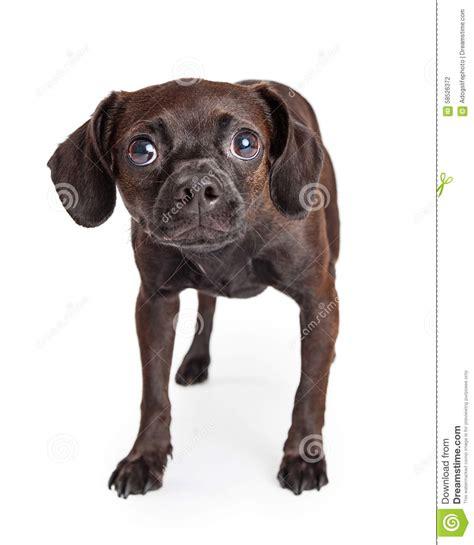 small breed rescue scared small breed rescue stock photo image 58526372