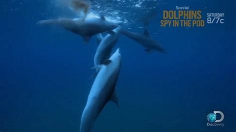 Dolphin Blowfish Detox Vidio by Dolphin Pod Gets High Pufferfish Toxins And They Re