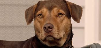 508763 a dog s way home meet bella in first official trailer for a dog s way home
