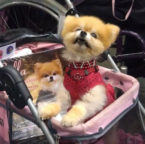 southern california pomeranian rescue attends southern california pet expo in ca petmeds