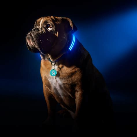 glowing collar electric blue led collar xs squeaker touch of modern