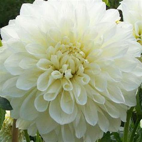 Dahlia White dahlia white perfection cottage plants