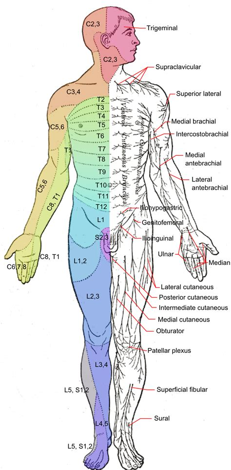 nerves diagram file dermatomes and cutaneous nerves anterior png