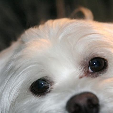 how to get eye stains of maltese dogs maltese and