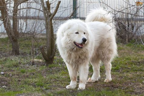 breeds that look like bears five large breeds that look like bears pets4homes