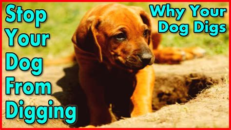 how to get your to stop digging how to your to stop digging start now keep a from digging